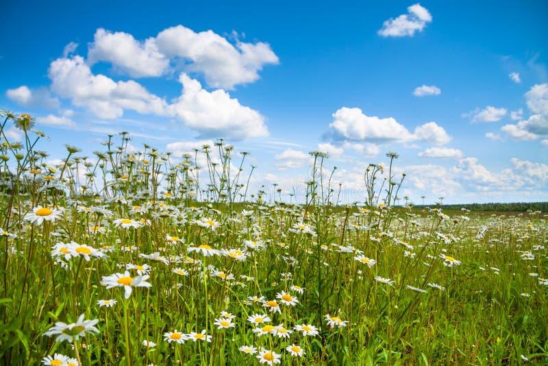 Paisaje del verano con un campo, un cielo azul y nubes blancas imagen de archivo