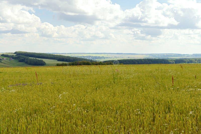 paisaje del verano con un campo verde sembrado imagen de archivo libre de regalías