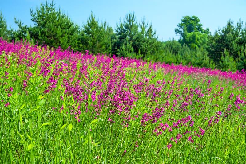 Paisaje del verano con un prado floreciente fotos de archivo libres de regalías