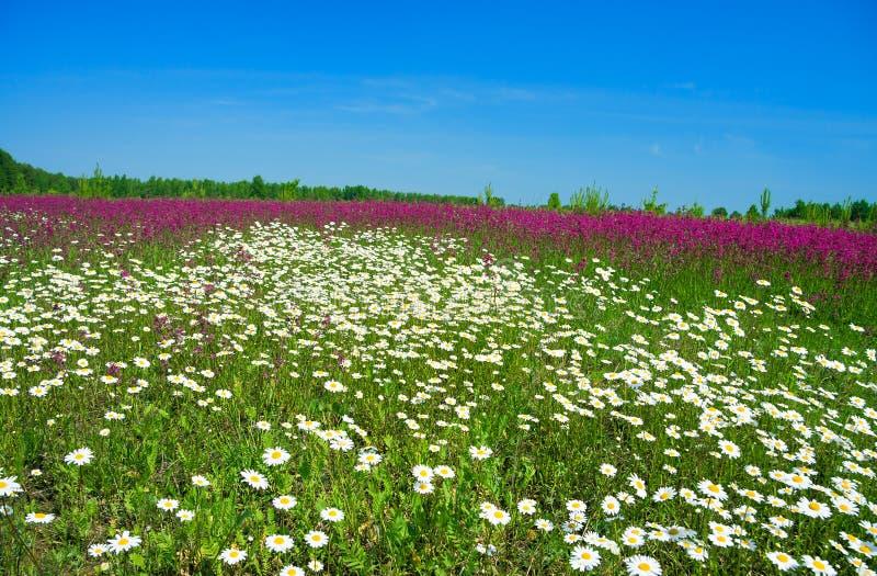 Paisaje del verano con un prado floreciente fotografía de archivo libre de regalías