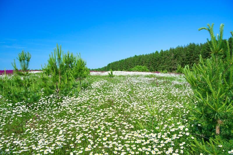 Paisaje del verano con un prado floreciente fotos de archivo