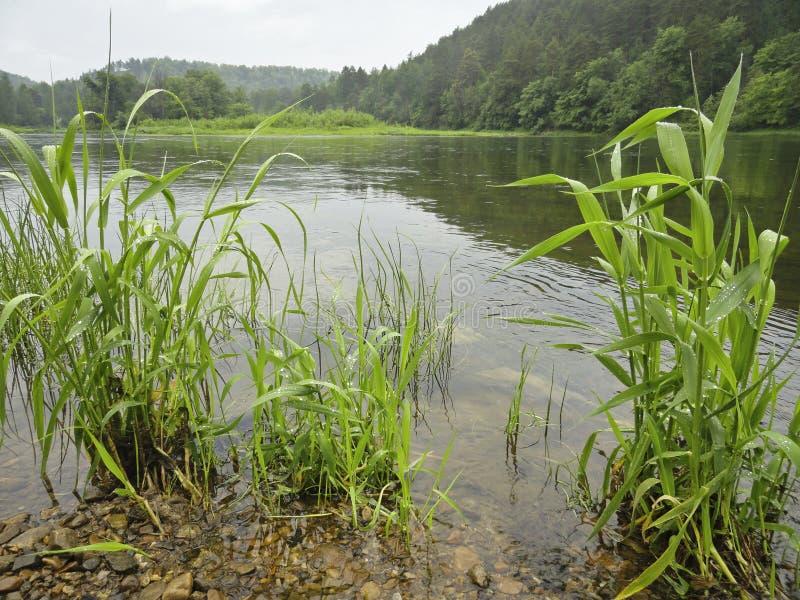 Paisaje del verano - río y banco tranquilos en las cañas fotos de archivo libres de regalías