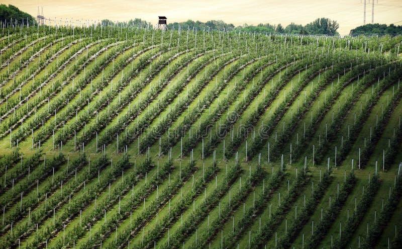 Paisaje del viñedo debajo del castillo de Hazmburk fotografía de archivo