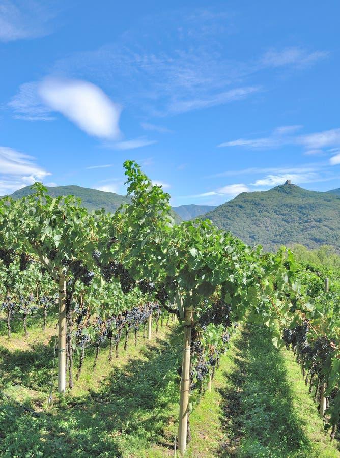 Paisaje del viñedo, el Tirol del sur, Italia fotografía de archivo libre de regalías