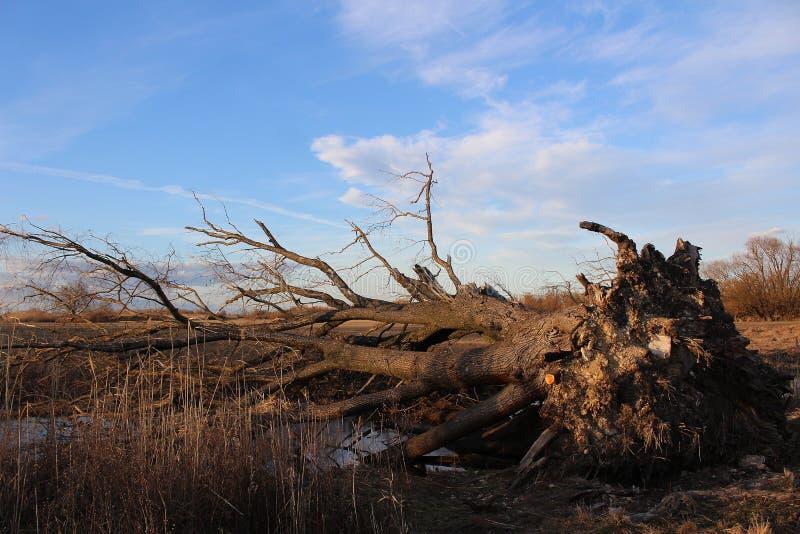 Paisaje - después de tormenta - árbol grande desarraigado por una tormenta grande imagen de archivo libre de regalías