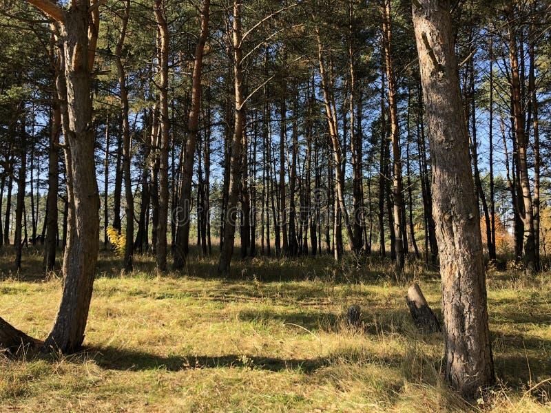 Paisaje en un día soleado del otoño: claro y pinos en un terreno montañoso fotografía de archivo