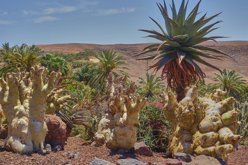 Paisaje escénico con las plantas del cactus en la isla de Fuerteventura en el Océano Atlántico foto de archivo libre de regalías