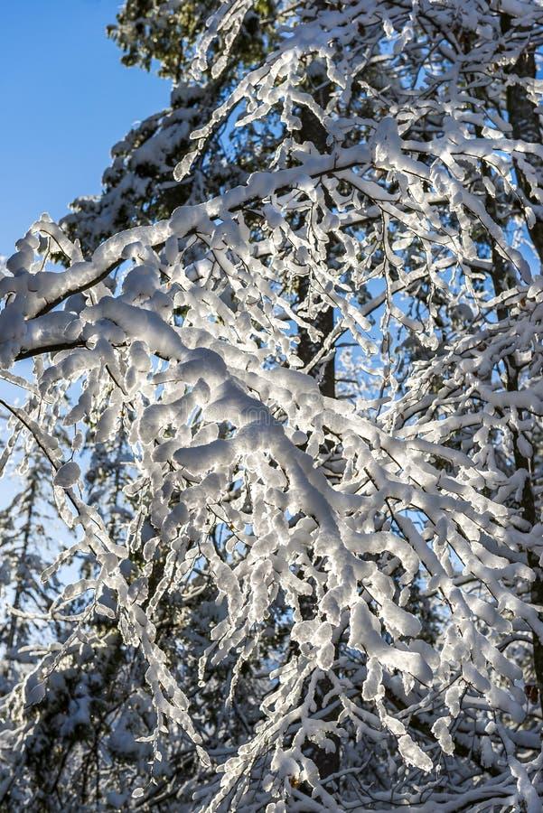 Paisaje escarchado del invierno en las ramas nevosas del bosque cubiertas con nieve en tiempo frío del invierno foto de archivo libre de regalías