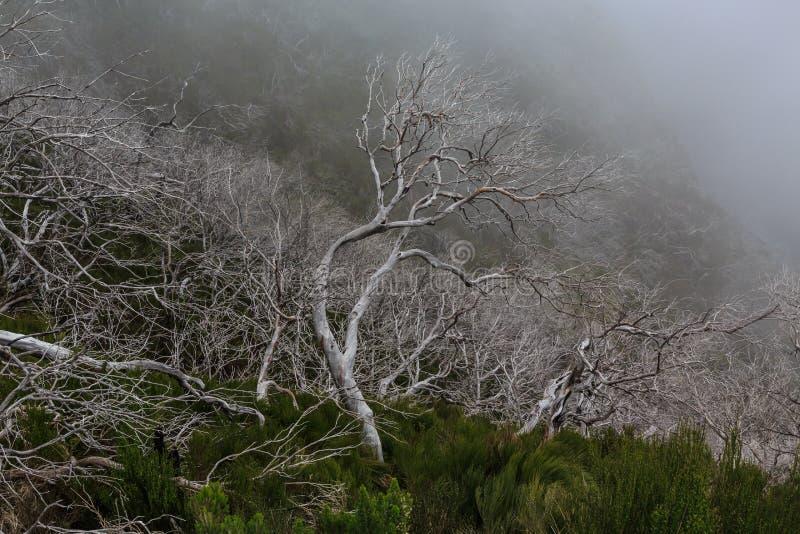 Paisaje espeluznante que muestra un bosque oscuro brumoso con el tre blanco muerto imagenes de archivo