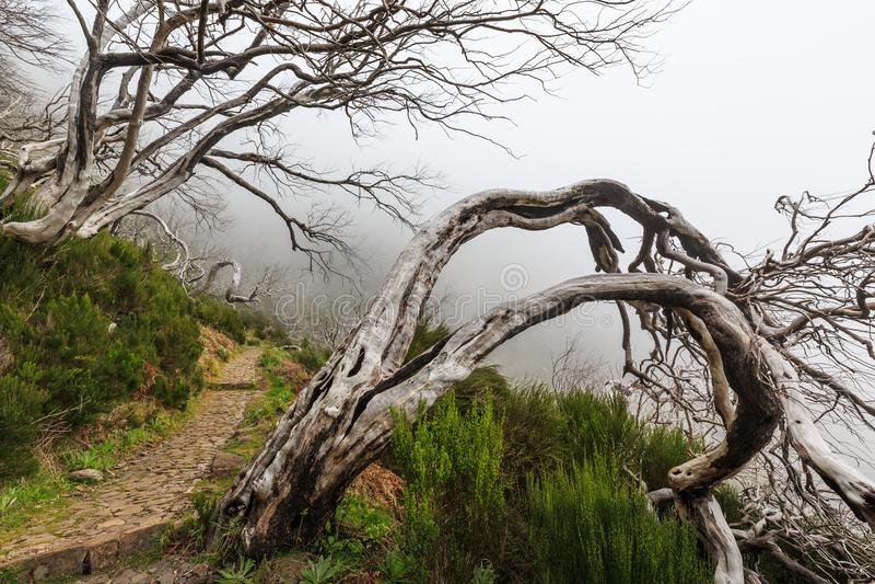 Paisaje espeluznante que muestra un bosque oscuro brumoso con el tre blanco muerto imagen de archivo libre de regalías