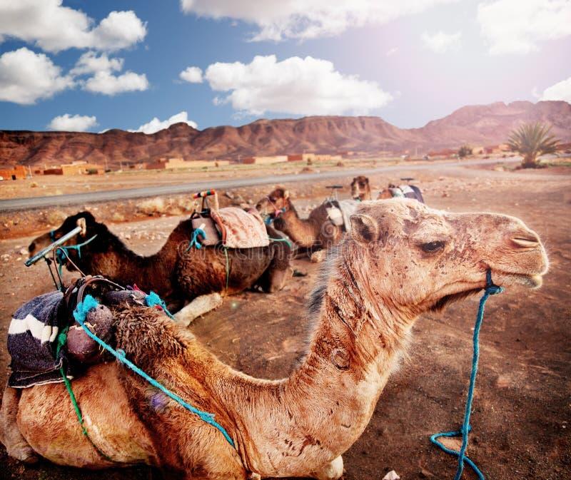 Paisaje exótico con los camellos en el desierto de Marruecos Puesta del sol en el desierto recorridos fotografía de archivo libre de regalías