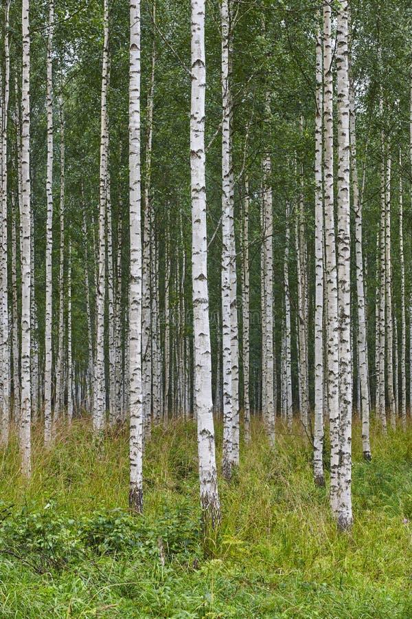 Paisaje finlandés con el bosque del abedul Desierto de la naturaleza de Finlandia imagen de archivo