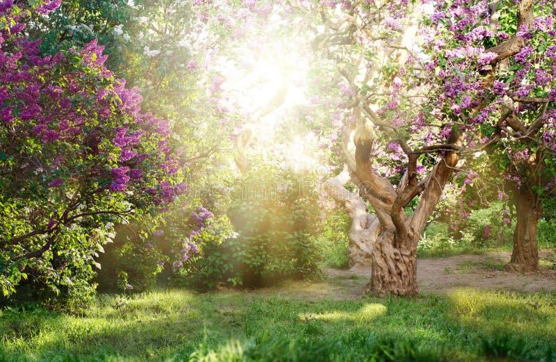 Paisaje hermoso con el árbol viejo de la lila que florece en el jardín Árboles de la lila bajo rayos brillantes del sol foto de archivo