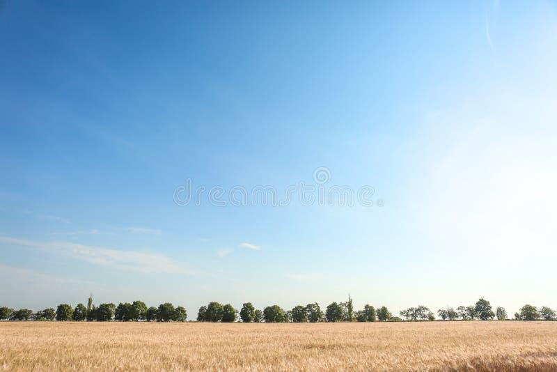 Paisaje hermoso con el campo de trigo y el cielo azul foto de archivo