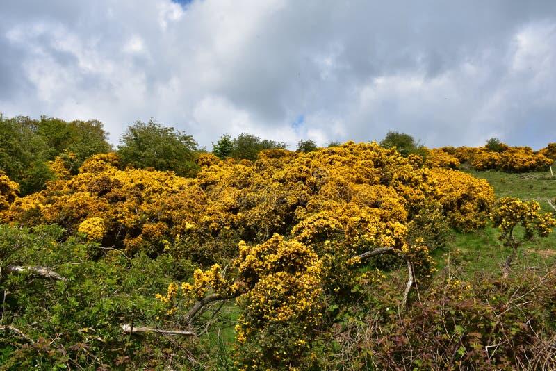 Paisaje hermoso con el florecimiento de arbustos amarillos de la aulaga imagenes de archivo