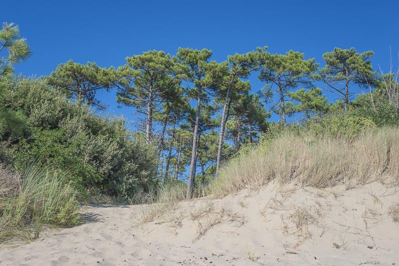 Paisaje hermoso con el pino en la costa costa de la arena del oceana atlántico fotografía de archivo libre de regalías