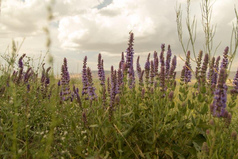 Paisaje hermoso con las flores púrpuras en naturaleza foto de archivo libre de regalías