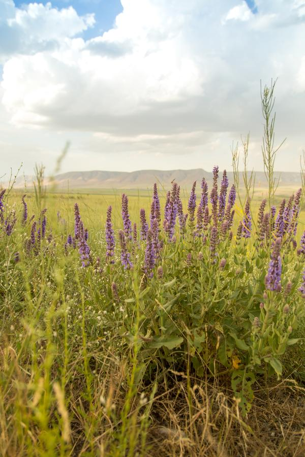 Paisaje hermoso con las flores púrpuras en naturaleza imagen de archivo libre de regalías