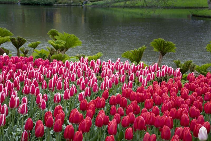 Paisaje hermoso con los tulipanes rosados imagen de archivo libre de regalías
