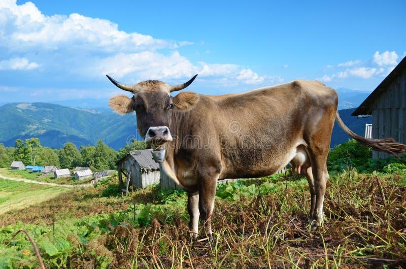 Paisaje hermoso con una vaca en las montañas en Karpath, Ukra imágenes de archivo libres de regalías