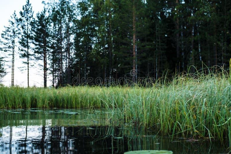 Paisaje hermoso de la mañana, agua tranquila del lago, orilla herbosa y bosque del pino, en el amanecer imagen de archivo libre de regalías