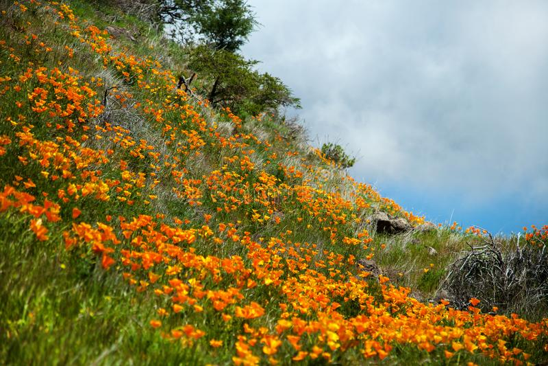 Paisaje hermoso de la montaña con las flores Narciso floreciente en Tenerife Parque nacional de Teide imágenes de archivo libres de regalías