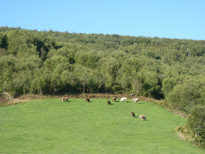 Paisaje hermoso de la montaña Vacas que pastan en pasto fotos de archivo libres de regalías