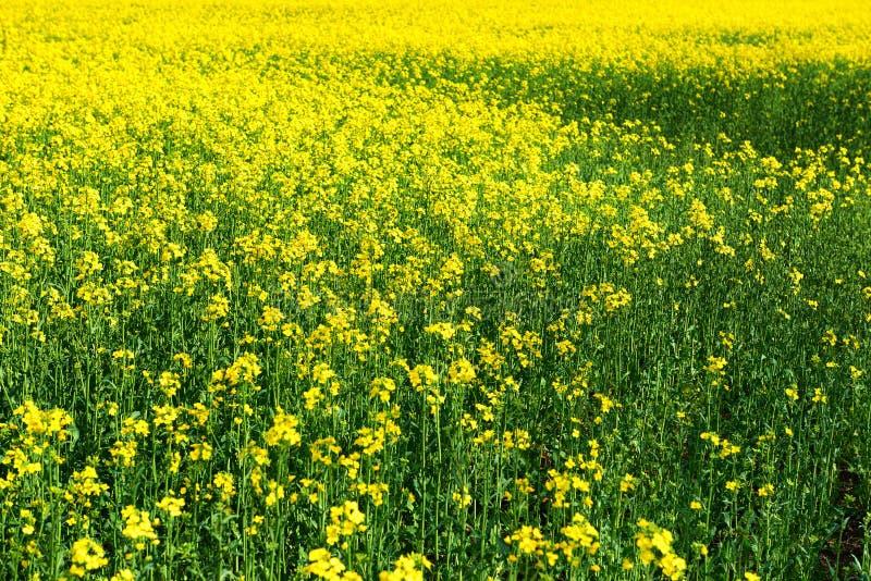 Paisaje hermoso de la primavera, flor amarilla en campo de la rabina como fondo fotos de archivo libres de regalías
