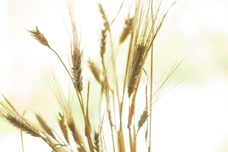 Paisaje hermoso de la puesta del sol de la naturaleza O?dos del cierre de oro del trigo para arriba Escena rural bajo luz del sol imagenes de archivo