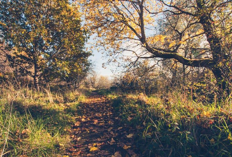 Paisaje hermoso, de oro del otoño con los árboles y hojas de oro en la sol en Escocia imágenes de archivo libres de regalías