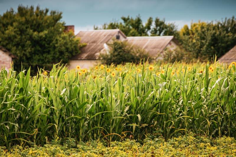 Paisaje hermoso de una granja del país rodeada por el maíz foto de archivo libre de regalías