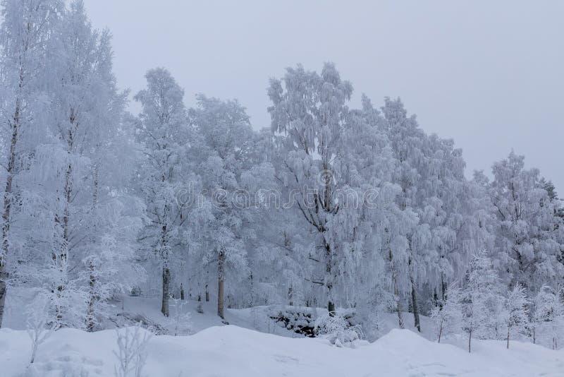 Paisaje hermoso del invierno con la helada gruesa que cubre algún abedul imágenes de archivo libres de regalías