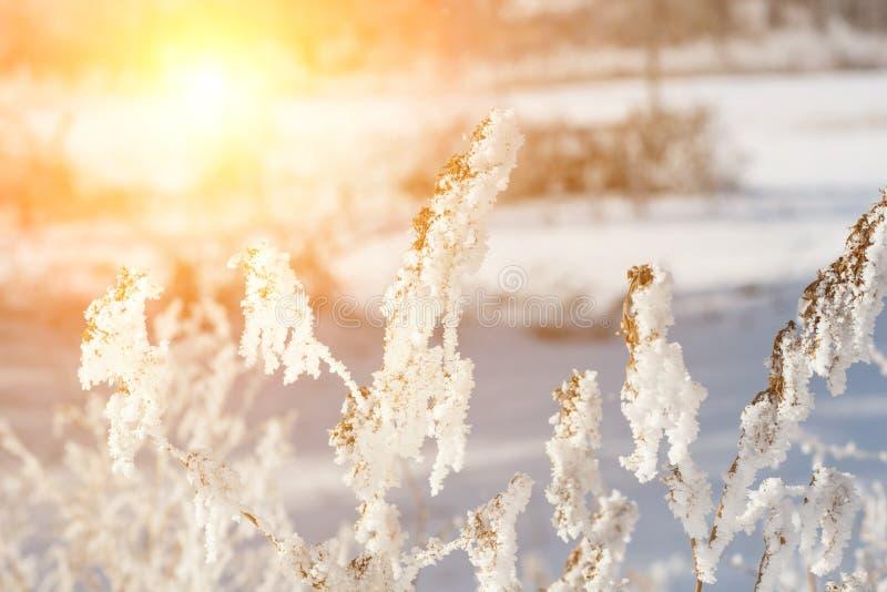 paisaje hermoso del invierno con la planta de nieve, los árboles y la salida del sol winterly mañana de un nuevo día paisaje púrp imágenes de archivo libres de regalías