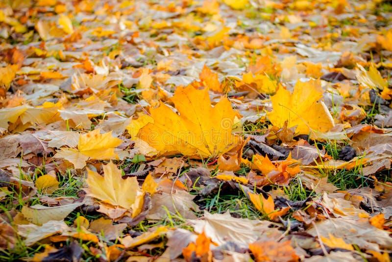 Paisaje hermoso del otoño con las hojas de arce amarillas y anaranjadas en la tierra y el sol Follaje colorido en el parque falli fotos de archivo libres de regalías