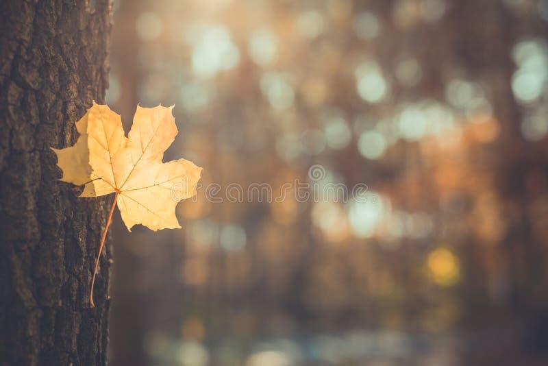 Paisaje hermoso del otoño con los árboles y el sol amarillos Follaje colorido en el parque Fondo natural de las hojas que cae fotos de archivo libres de regalías