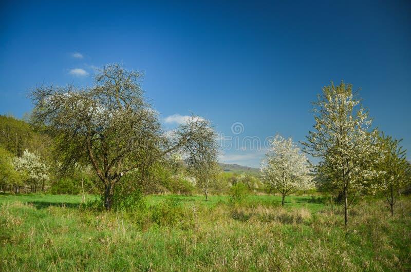 Paisaje hermoso del resorte Cerezos de las flores blancas en prado agradable por completo de la hierba verde Bosque del cielo azu fotografía de archivo