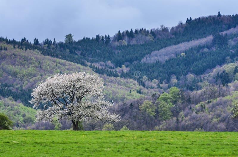 Paisaje hermoso del resorte Cerezos de las flores blancas en prado agradable por completo de la hierba verde Bosque del cielo azu foto de archivo