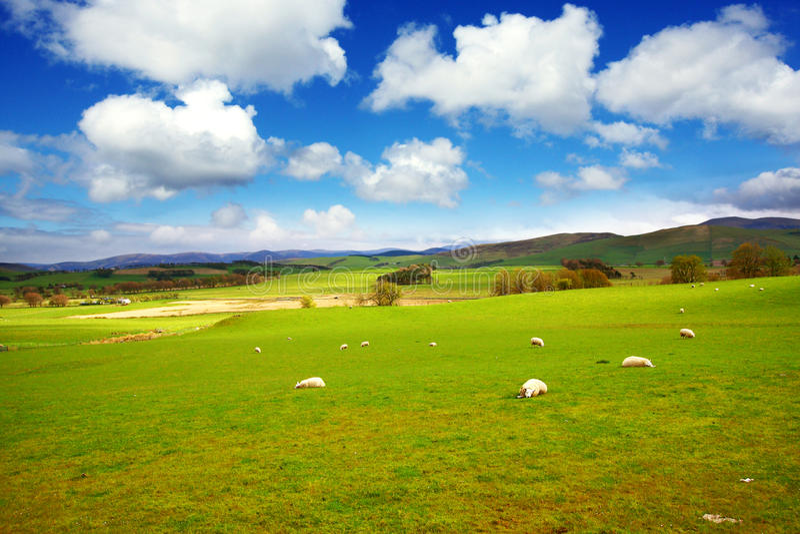 Paisaje hermoso del resorte con las ovejas en Escocia imagen de archivo
