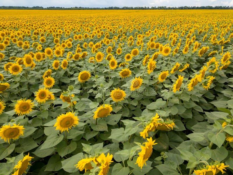 Paisaje hermoso del verano con un campo floreciente de girasoles amarillos contra la perspectiva de un cielo nublado imagenes de archivo