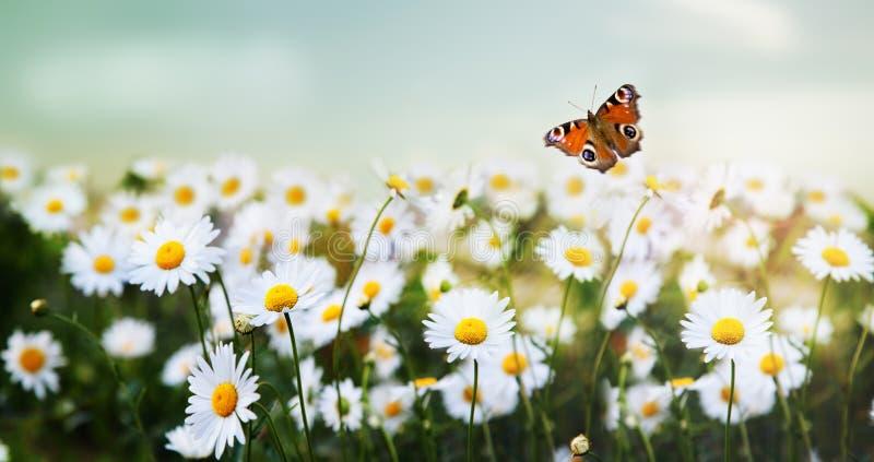 Paisaje hermoso Vuelo de la mariposa sobre un prado con las margaritas fotografía de archivo libre de regalías