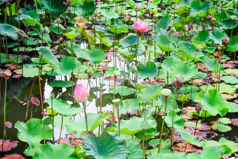 Paisaje hojas coloridas del loto sagrado o del nucifera del Nelumbo flores y que florecen en la charca de agua en el templo imagen de archivo