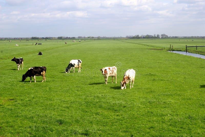 Paisaje holandés característico, prados y vacas del pólder foto de archivo libre de regalías