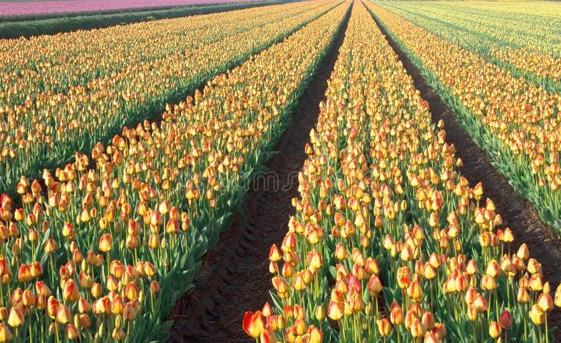 Paisaje holandés del campo de los bulbos del tulipán foto de archivo