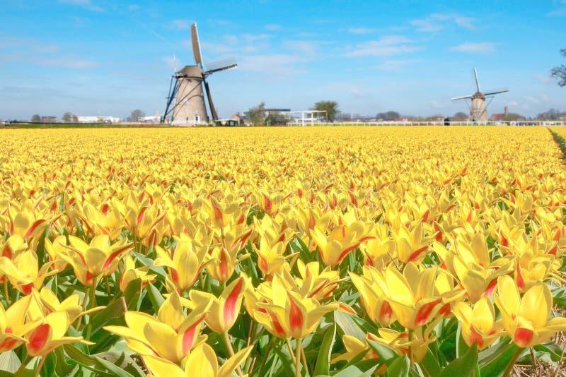 Paisaje holandés del molino de viento de los tulipanes imagen de archivo libre de regalías