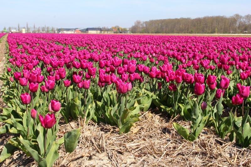 Paisaje holandés en la primavera, Países Bajos foto de archivo libre de regalías