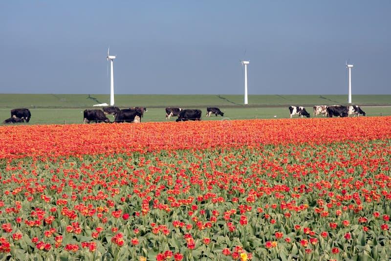 Paisaje holandés: molinoes de viento, vacas y tulipanes imágenes de archivo libres de regalías