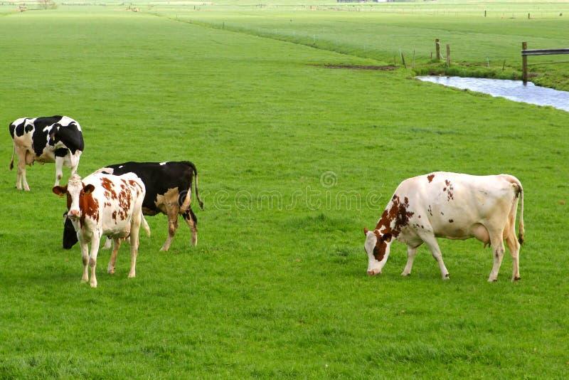 Paisaje holandés rural del pólder con las vacas y los prados imagen de archivo