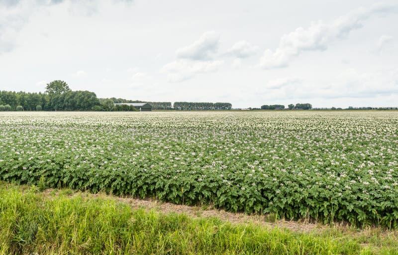Paisaje holandés típico con las plantas de patata florecientes fotos de archivo libres de regalías