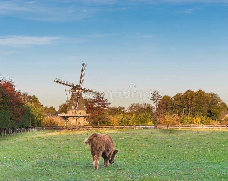 Paisaje holandés típico con un molino de viento y una vaca de pasto de la montaña imagen de archivo