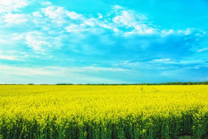 Paisaje increíble con un campo amarillo del rábano en un día soleado contra el cielo azul con las nubes imagen de archivo